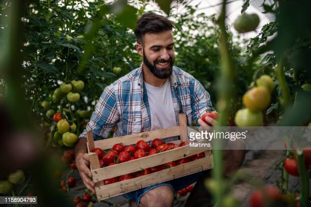 organic farmer checking his tomatoes in a hothouse - tomato harvest stock pictures, royalty-free photos & images