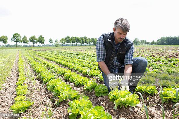 organic farmer harvesting lettuce - lettuce stock pictures, royalty-free photos & images