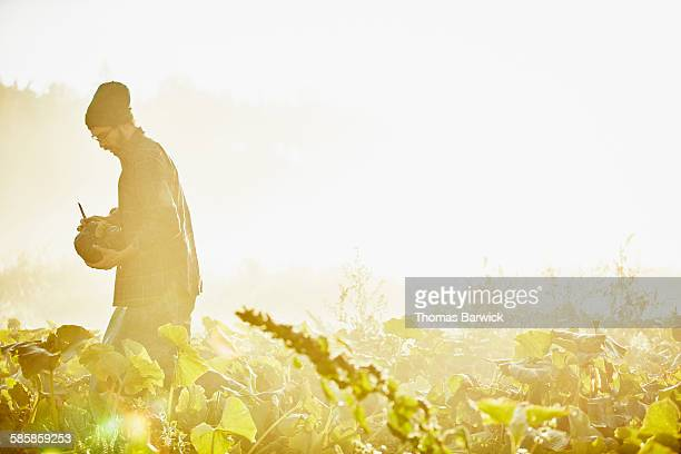 Organic farmer harvesting squash at sunrise