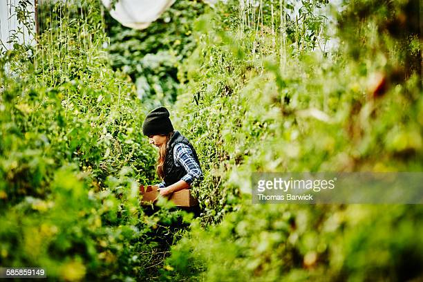 Organic farmer harvesting tomatoes in greenhouse