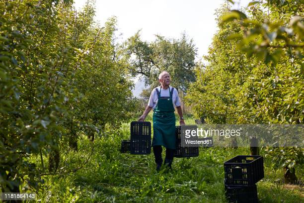 organic farmer harvesting williams pears, carrying boxes - fruit tree stock pictures, royalty-free photos & images