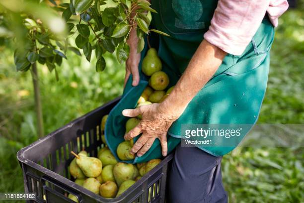 organic farmer harvesting williams pears - 果樹園 ストックフォトと画像
