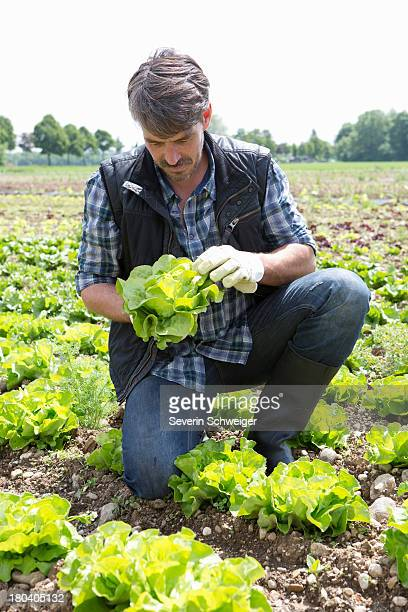 Organic farmer monitoring lettuce