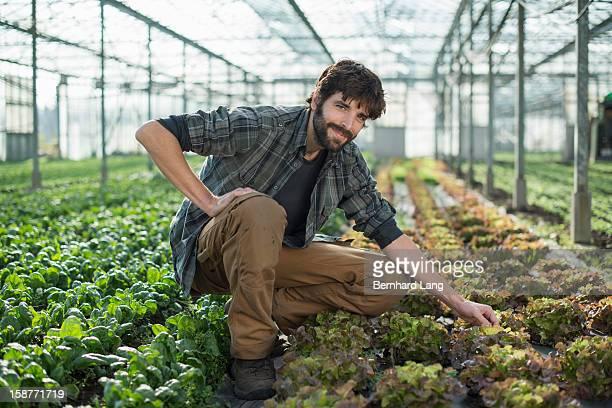 Organic farmer on salad field in greenhouse