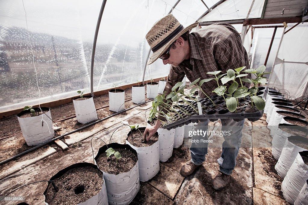 Organic farmer planting in greenhouse : Stock Photo