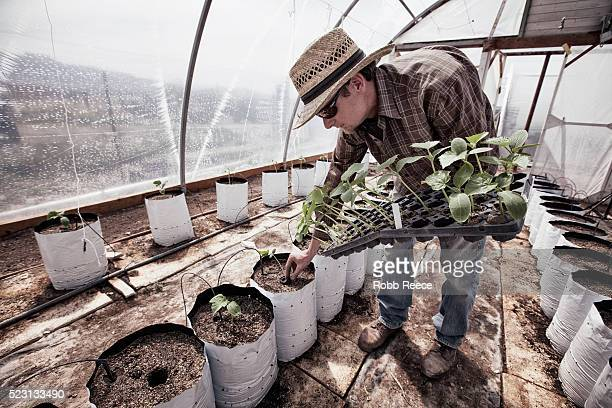 organic farmer planting in greenhouse - robb reece stock-fotos und bilder