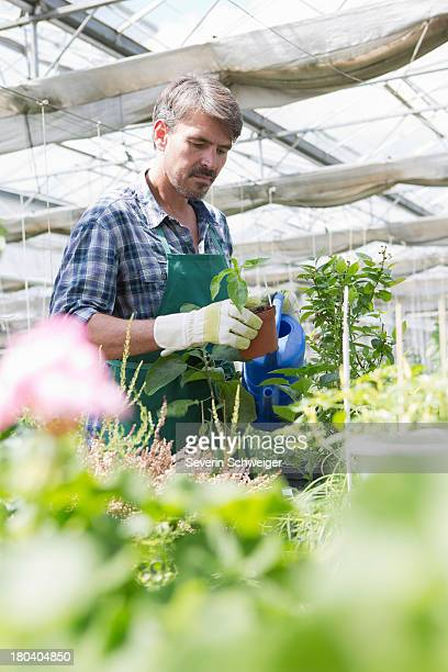 Organic farmer watering young plants in polytunnel