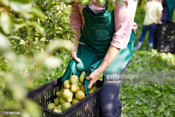organic farmers harvesting williams pears - ernten stock-fotos und bilder