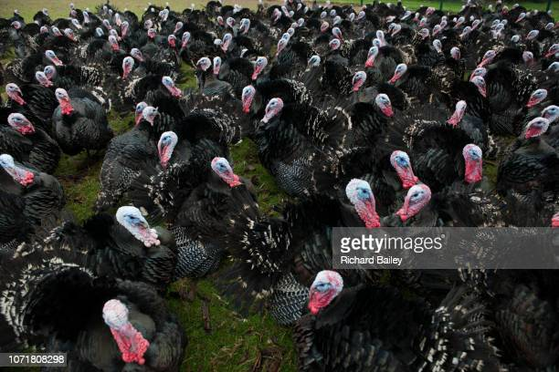 organic, free range turkeys on a farm in england - ugly turkey stock photos and pictures
