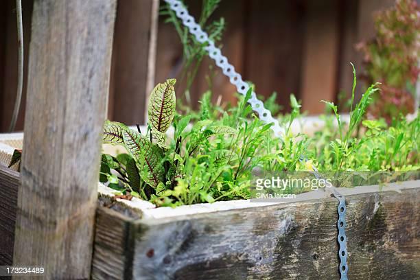 organic gardening growing salad
