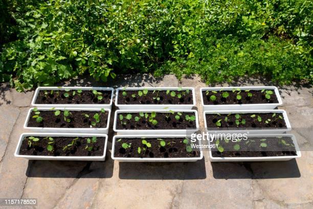 organic gardening, nasturtium in flower boxes, roses and lady's mantle in bed - landbouwgrond stockfoto's en -beelden