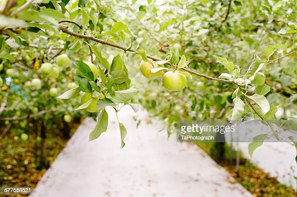 Organic Green Apples Harvest