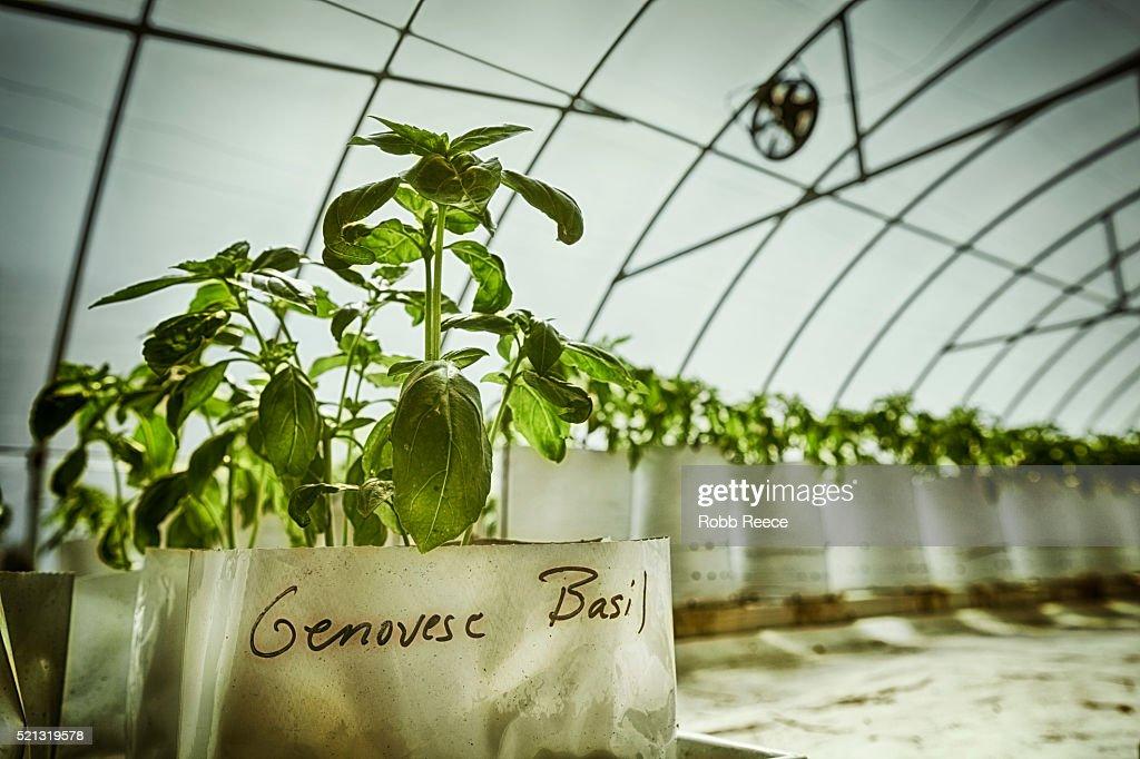 Organic greenhouse growing fresh Basil on a farm : Stock Photo