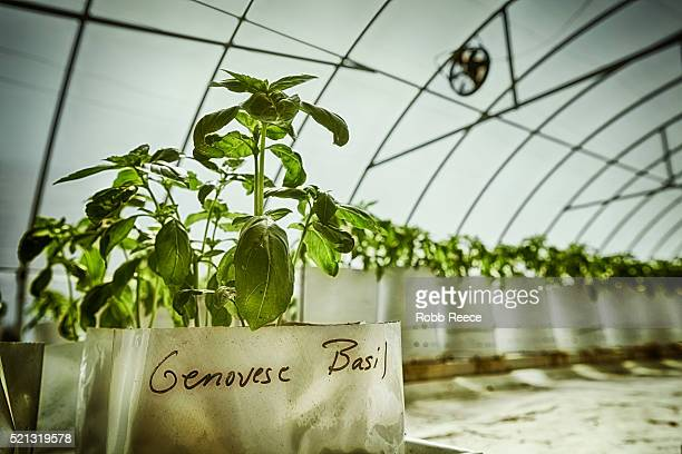 organic greenhouse growing fresh basil on a farm - robb reece stockfoto's en -beelden