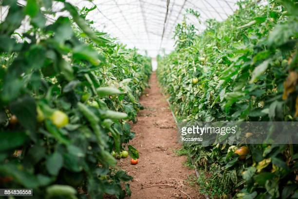 organic greenhouse - cultivated land stock pictures, royalty-free photos & images