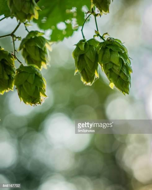 Organic hops
