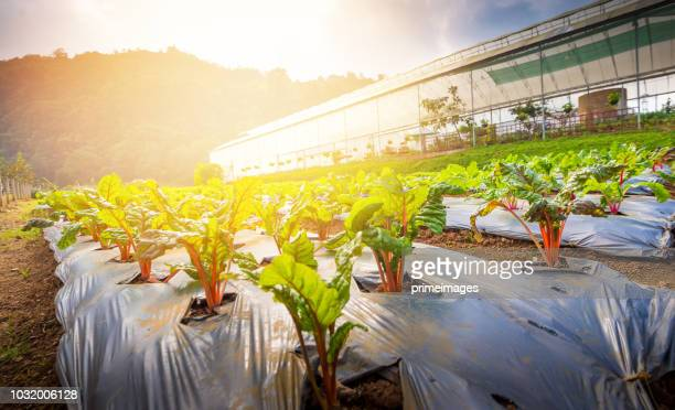 organic hydroponic vegetable garden greenhouse  in north thailand - photosynthesis stock photos and pictures