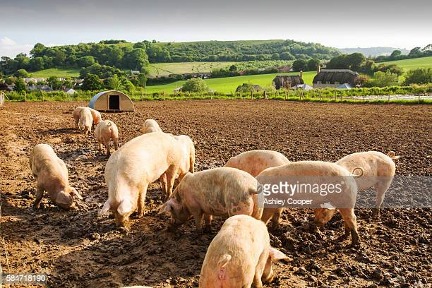 organic middle white pigs at washingpool farm in bridport, dorset. the farm rears livestock and grows food and vegetables for sale in their farmshop, cutting down on food miles. - pig stock pictures, royalty-free photos & images