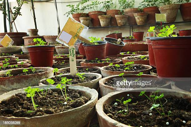 Organic Parsley seedlings in Herbs Terrace Garden