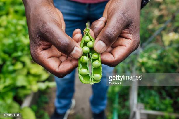 organic pea pod - horticulture stock pictures, royalty-free photos & images