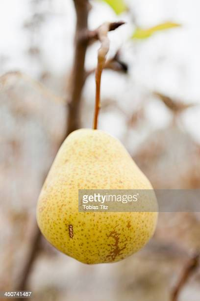 Organic pear hanging on tree