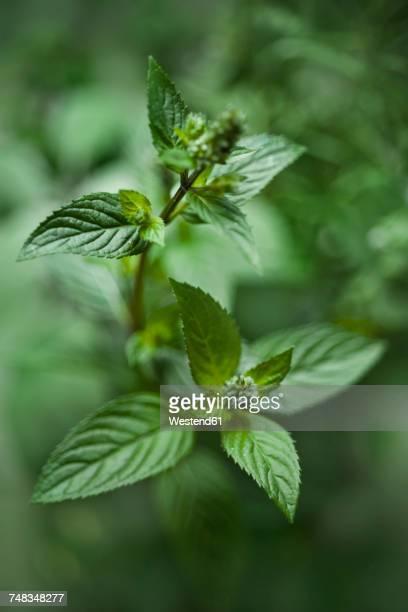organic pepper mint - minze stock-fotos und bilder