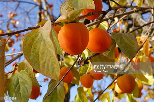 Organic Persimmon Fruit On Tree Branch