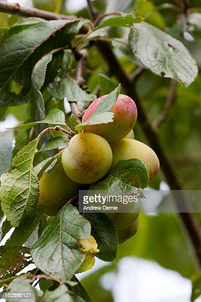 organic plums - andrew dernie stock pictures, royalty-free photos & images