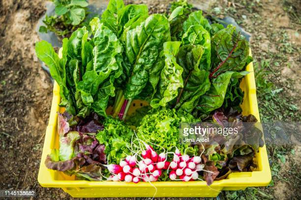 organic produce, organic farm harvest rainbow chard, swiss chard, radish, radishes, butterhead lettuce, red leaf lettuce, fresh vegetables, farm fresh, farm to table - leaf lettuce stock pictures, royalty-free photos & images