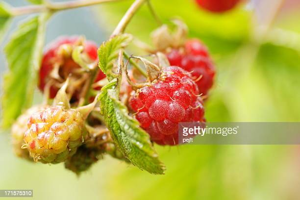 organic raspberries - pejft stock pictures, royalty-free photos & images