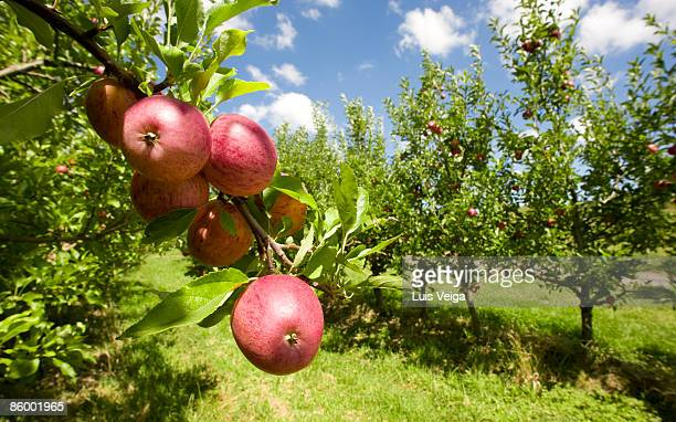 Organic Red apples hanging on tree