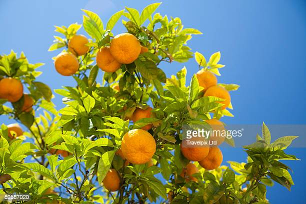 organic spanish oranges - seville stock pictures, royalty-free photos & images
