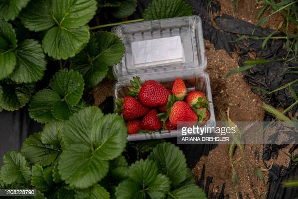 Organic strawberries are seen freshly picked at Stehly Farms Organics in Valley Center California on March 25 2020 Since the Coronavirus outbreak in...