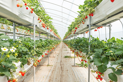 Organic Strawberry Farm in South Korea - gettyimageskorea