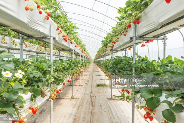 organic strawberry farm in south korea - organic farm stock pictures, royalty-free photos & images