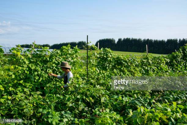 organic, sustainable, small scale agriculture. a young female farmer harvesting beans. - bush bean stock photos and pictures