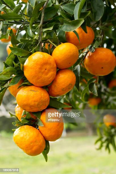 Organic Tangerine Fruits