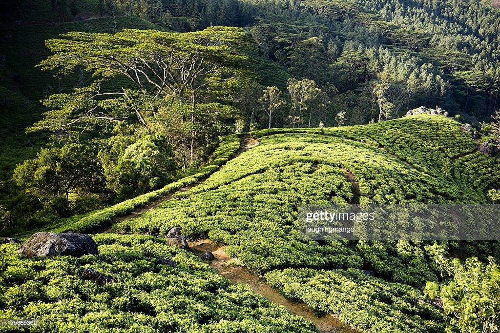 organic tea crop plantation sri lanka : Stock Photo