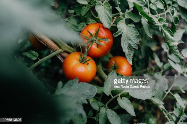 organic tomatoes growing in a field - agricultural activity stock pictures, royalty-free photos & images