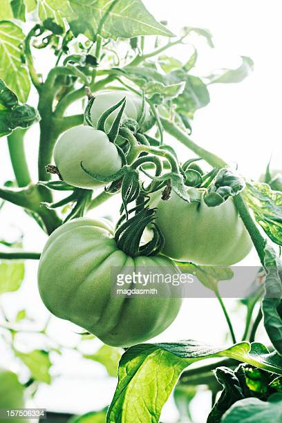 organic tomatoes - magdasmith stock pictures, royalty-free photos & images