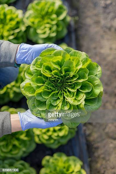 organic vegetable farm - lettuce stock pictures, royalty-free photos & images