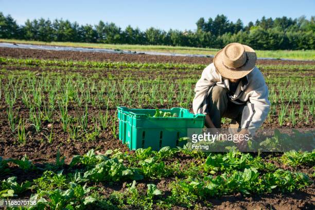 organic vegetable farming - farm worker stock pictures, royalty-free photos & images