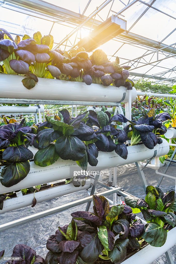Organic vegetable in greenhouse : Stock-Foto