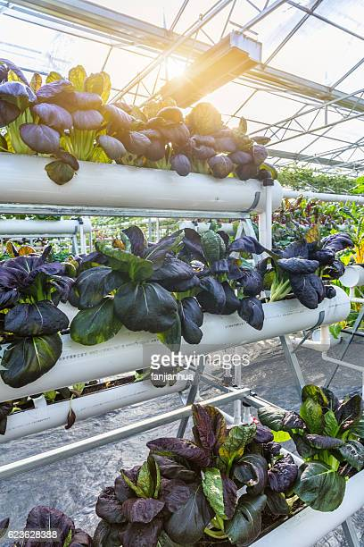 organic vegetable in greenhouse - vertikal stock-fotos und bilder