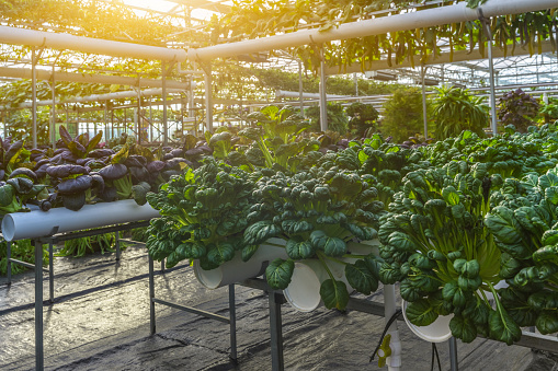 Organic vegetable in greenhouse - gettyimageskorea