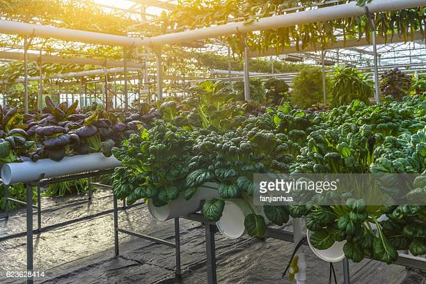 Organic vegetable in greenhouse