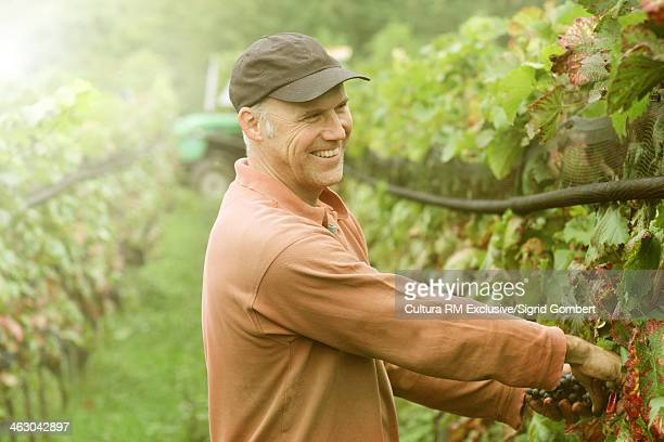 Organic wine grower picking grapes and smiling