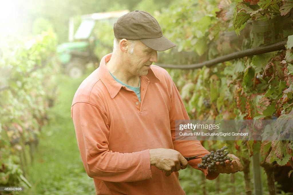 Organic wine grower picking grapes : Stock-Foto