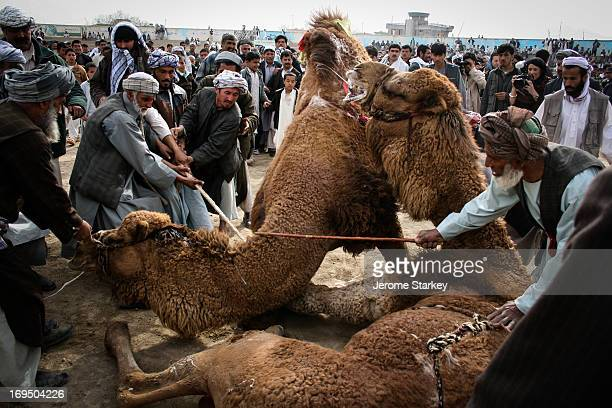 CONTENT] Organizers pull the victorious camel off his vanquished foe as spectators crowd round the fight at the football stadium in Mazare Sharif...