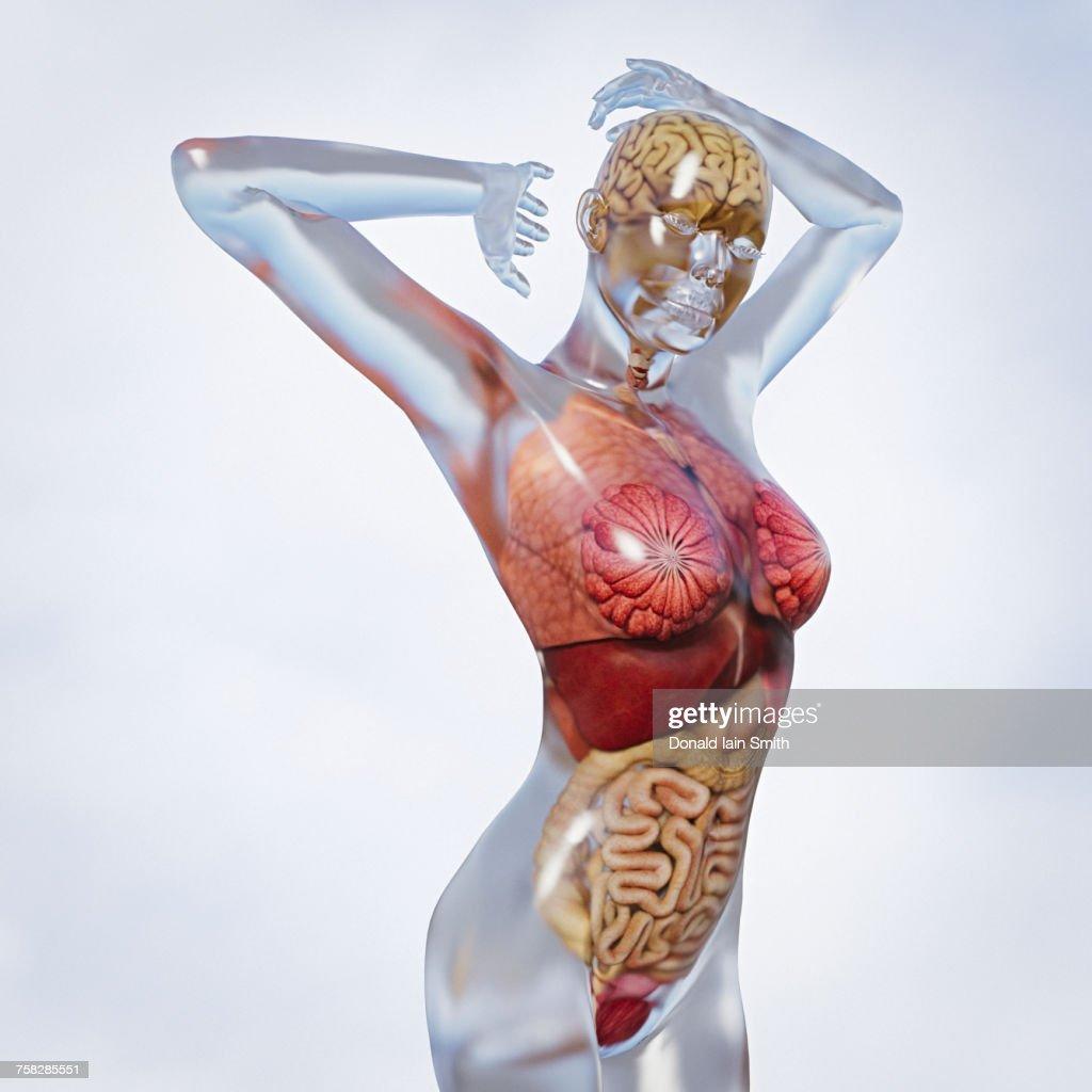 Organs in transparent woman : Stock-Foto